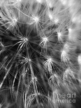 Dandelion 8  If wishes were horses beggars would ride by M Brandl