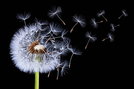 Dandelion blowing on black background by Bess Hamiti