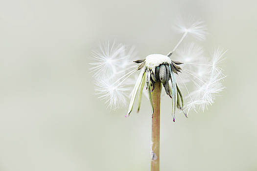 Dandelion by Cindy Grundsten