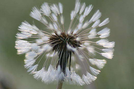 Dandelion Dew by Rachelle Johnston