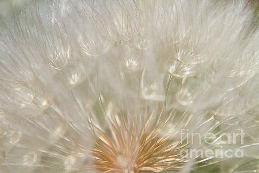 Dandelion by Diana McPherson