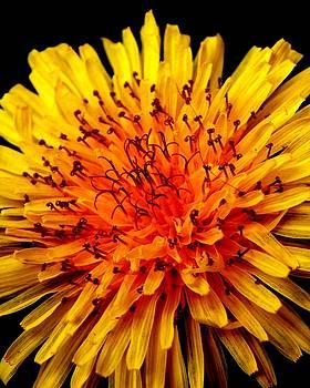 Dandelion en Fuego by Chase Whittaker