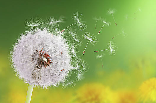 Dandelion flying by Bess Hamiti