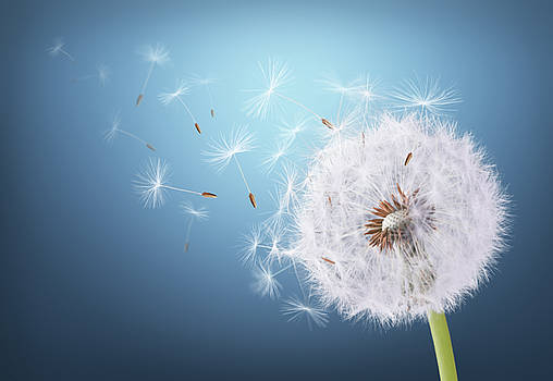 Dandelion flying on background blue by Bess Hamiti