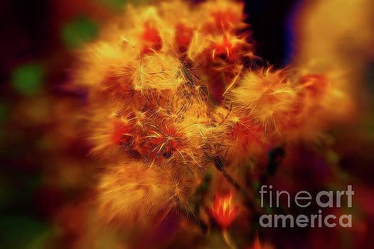 Dandelion Heads by Colin Cuthbert