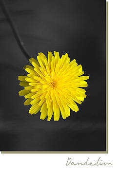 Dandelion by Holly Kempe