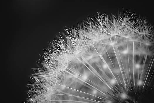 Dandelion in Black and White by Jaci Harmsen