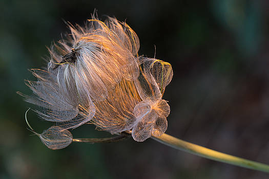 Dandelion in Late Afternoon Sun by Iris Page