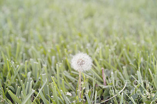 Dandelion in the grass by Cindy Garber Iverson