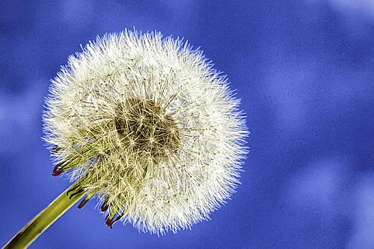 Dandelion by Jodi Jacobson