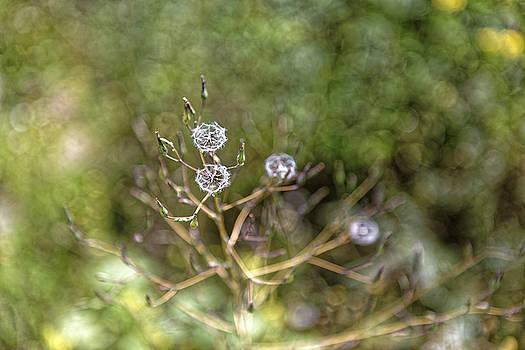 Dandelion like wild flower by Adrian Bud