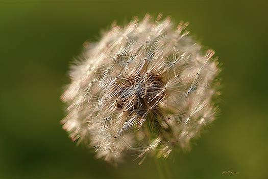 Dandelion Macro 1073 by Ericamaxine Price