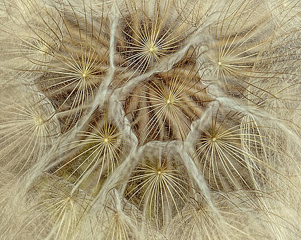 Dandelion Particles by Janice Bennett