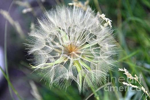 Dandelion by Patricia Alexander