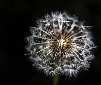 Darcy Michaelchuk - Dandelion Seed