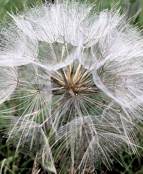 Dandelion seed head  by Kathy Spall
