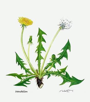 Dandelion - Taraxacum officinale by Michael Earney
