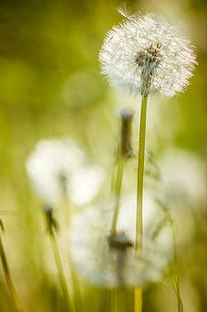 Chris Bordeleau - Dandelion Whimsy