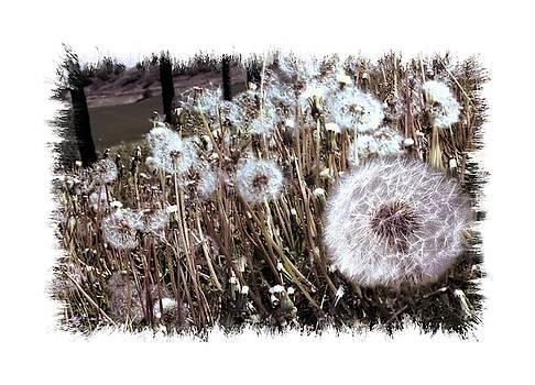 Dandelion Wishes by Myrna Migala