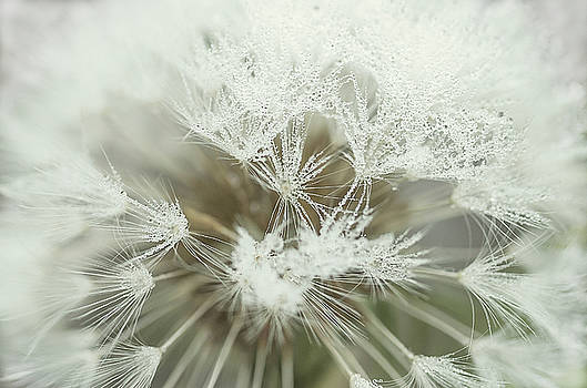 Dandelion with droplets I by Paulo Goncalves