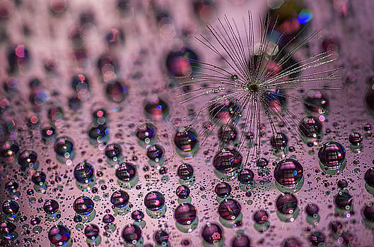Dandelion with droplets III by Paulo Goncalves