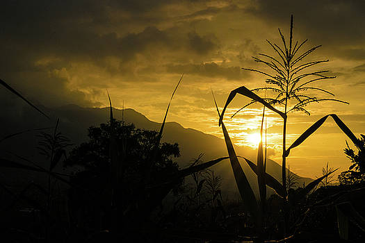 Dark Corn Sunset by Kumud Parajuli