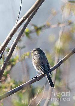 Dark-eyed Junco Bird on a Tree Branch by Brandon Alms