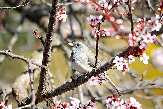 Dark-eyed Junco in the Spring by Trina Ansel