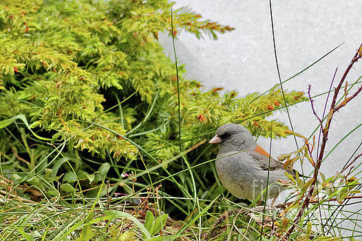 Dark eyed Junco by Natural Focal Point Photography