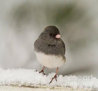 Dark-eyed Junco - Winter Birds by Kerri Farley