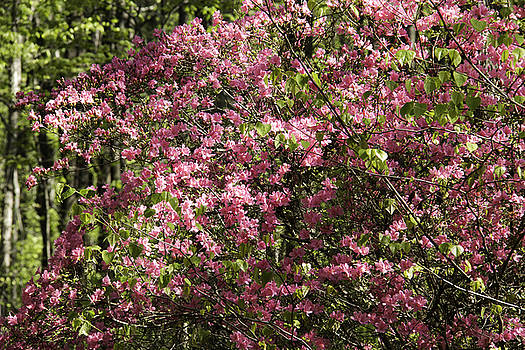 Teresa Mucha - Dark Pink Azaleas Blooming at Happy Hollow Gardens