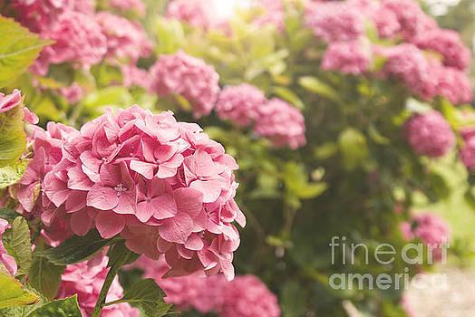 Dark pink hydrangea by Cindy Garber Iverson