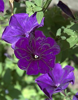 Kathi Shotwell - Dark Purple Petunias