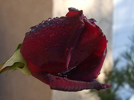Dark Rosebud by R and E Photography