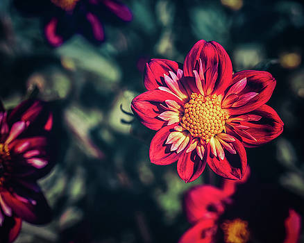 Darling Dahlia by Betsy Armour