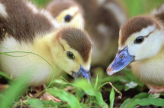 Spade Photo - Darling Ducklings