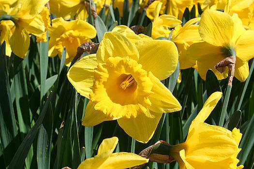 Darling Spring Daffodils by Mary Gaines