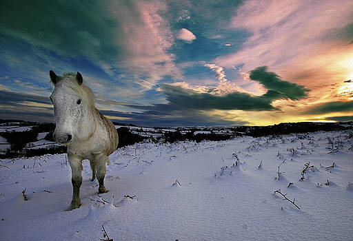 Dartmoor pony walking in snow by Mark Stokes