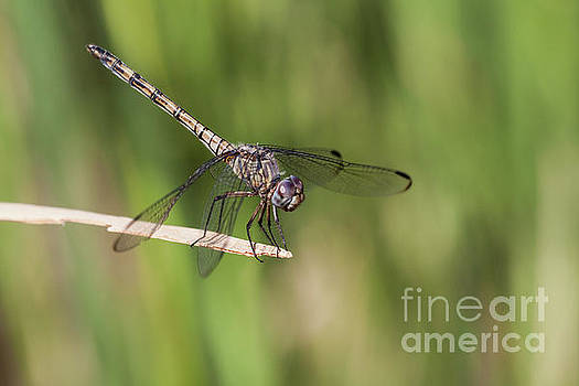 Dashing Dragonfly  by Ruth Jolly