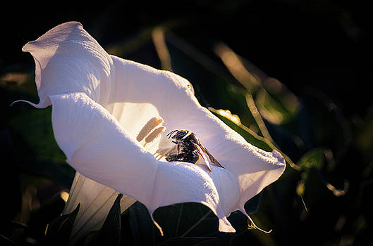 Datura Flower with Bee by Emily Bristor