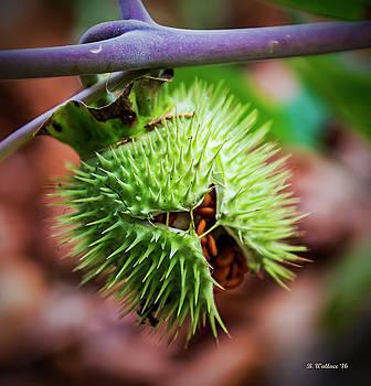 Datura Seedpod by Brian Wallace