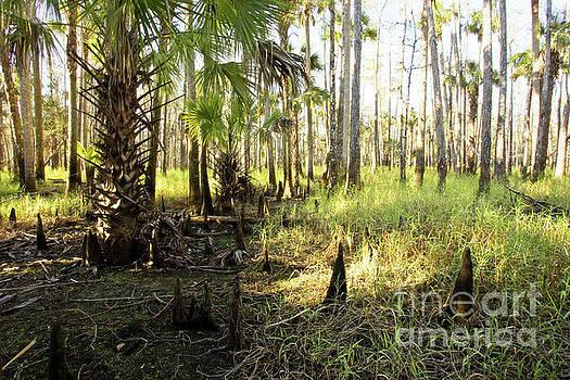 Dawn in the Florida Forest by Matt Tilghman