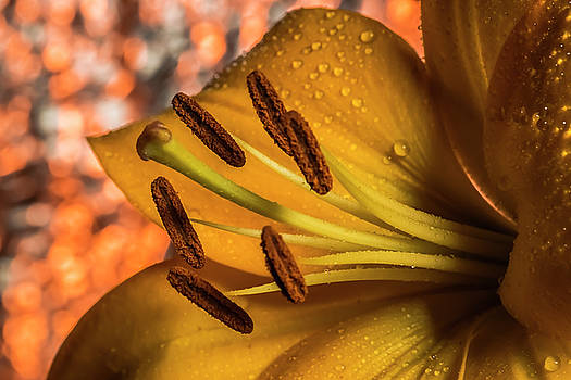 Day Lily close up with abstract background by Sven Brogren