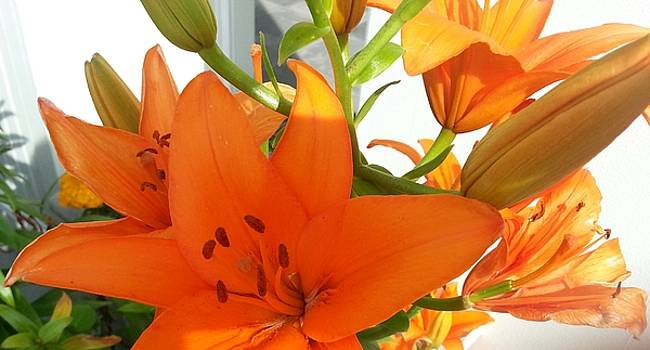 Day lily by Jamie Mcatee
