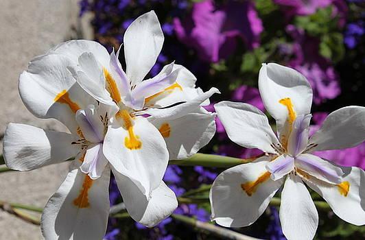 Day Lily by M Diane Bonaparte
