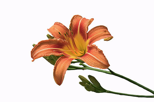 Day Lily on White by Lee Fortier