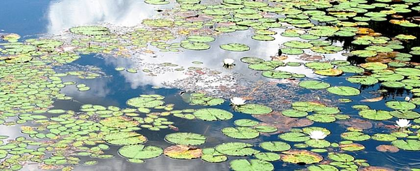 Daydreams and Lily Ponds by Angela Davies