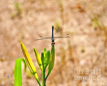 Daylily Dragonfly by Al Powell Photography USA