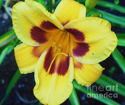 Daylily by Fawn Whelahan