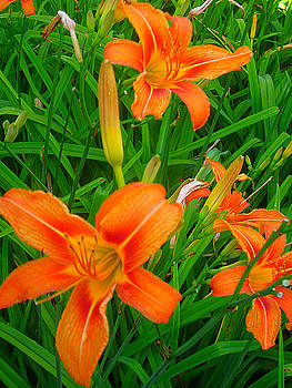 Daylily Greeting by Guy Ricketts